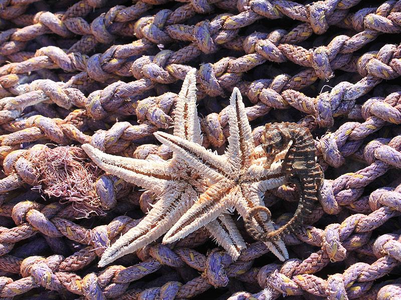 estrellas-mar-caballito