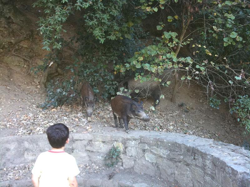 Jabalí con dos crías en la Font de la Budellera