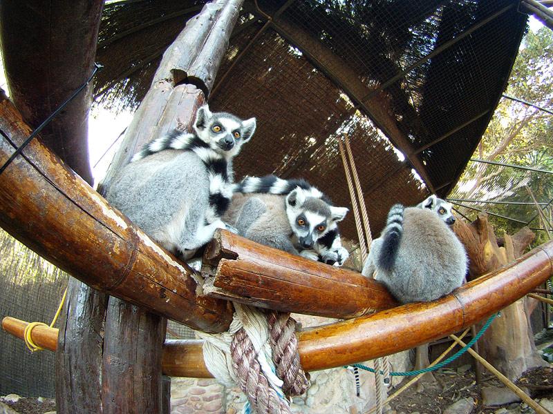 Lémures en MundoMar, Benidorm