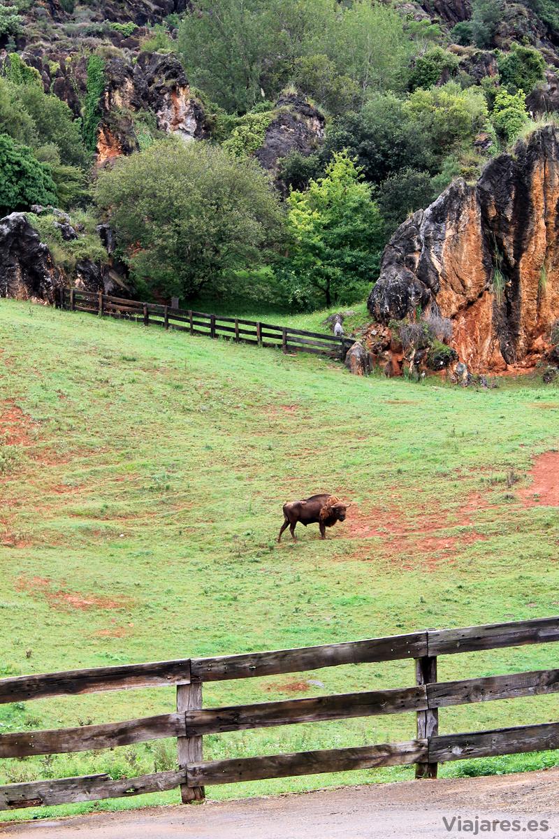 cantabria-cabarceno-bisontes