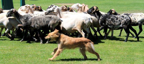 Concurso de perros pastores en Prades