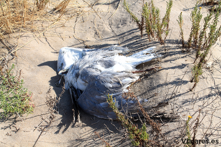 Una gaviota muerta