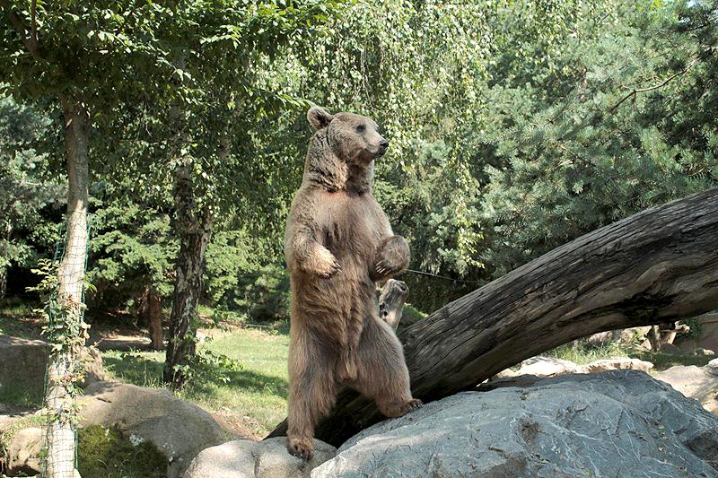 El oso Baloo mostrando su poderío