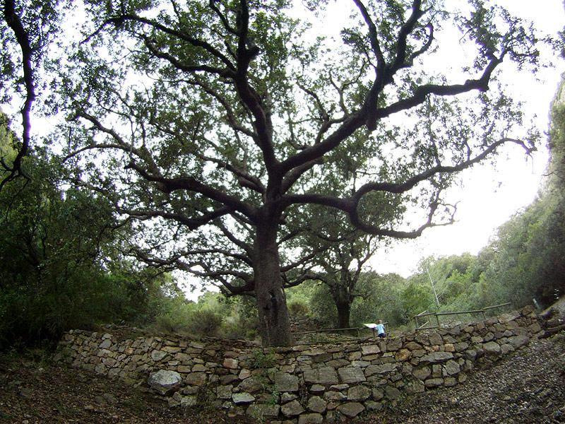 Encinas centenarias de la Font del Burgar
