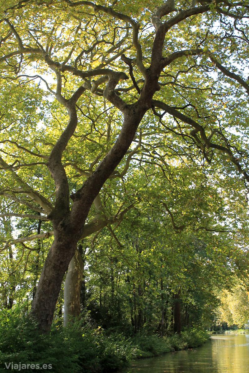 Árboles monumentales dan sombra en el Canal du Midi