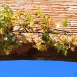 Racimos de uvas con pedigrí en la región de Tarn-et-Garonne