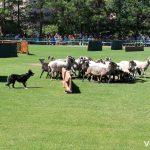 Concurso de Perros Pastores en Prades, Costa Daurada
