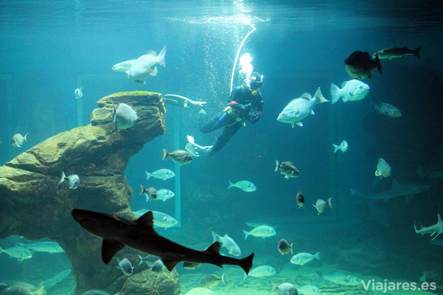 Submarinista en el acuario alimentando los peces