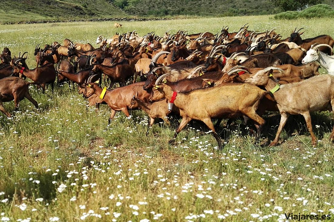 El rebaño de cabras de Gavàs