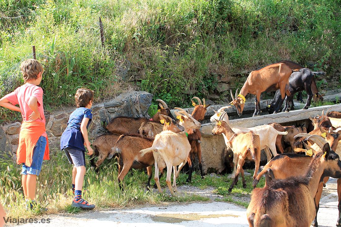 Rebaño de cabras en la entrada del pueblo de Gavàs
