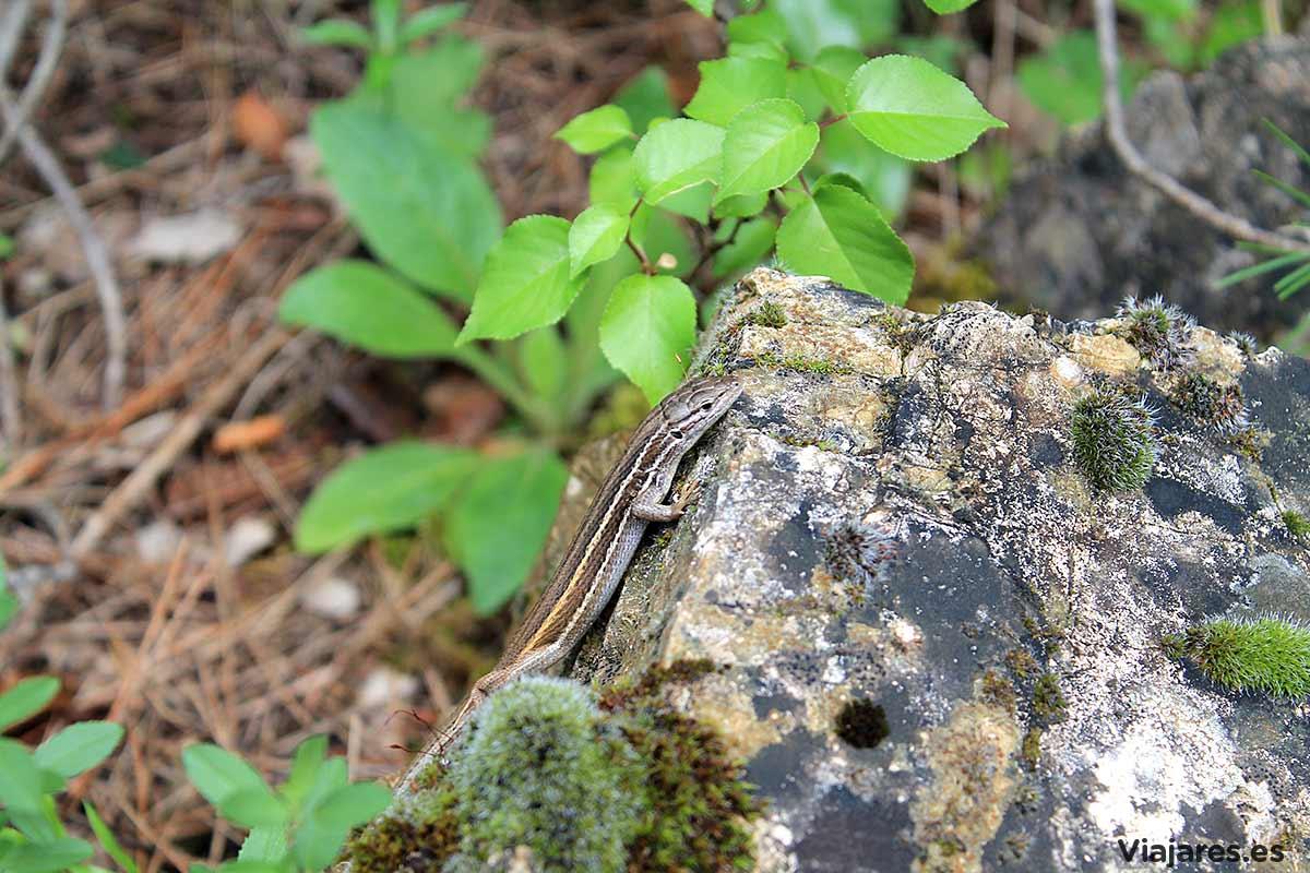 Reptil en La Franqueta