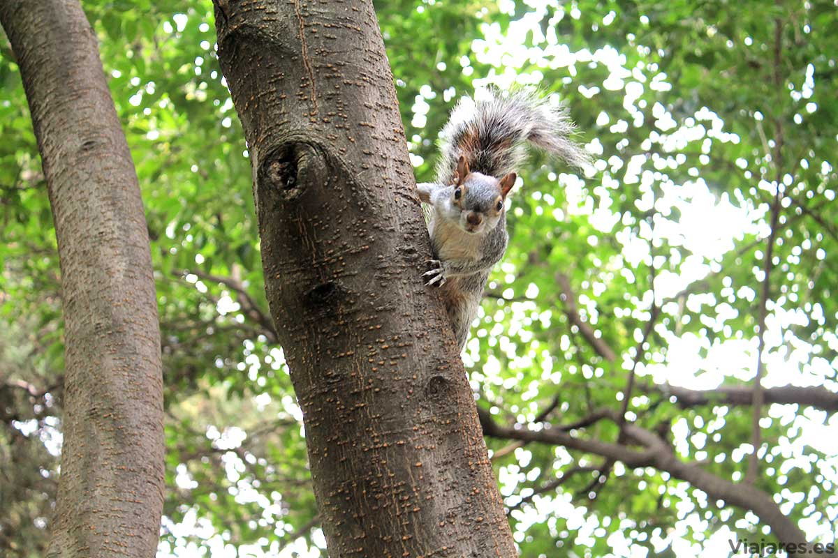 Ardilla en el bosque de Chapultepec, Ciudad de México