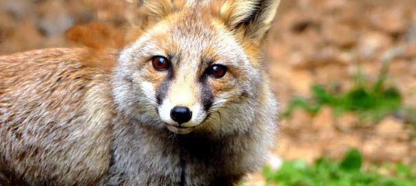 Un simpático zorro de Zoo dels Pirineus
